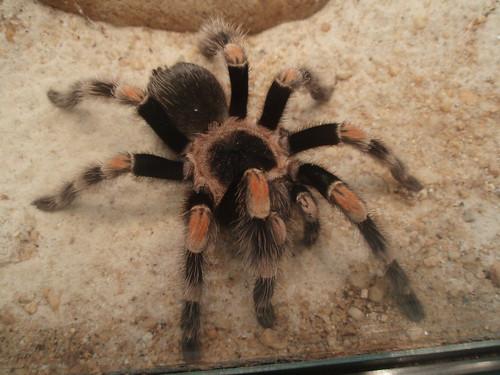 Mexican orange-kneed tarantulas(Euathlus smithii)