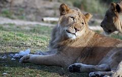 Here's looking at you kid! (Kjunstorm) Tags: cats animals felines wildanimalpar