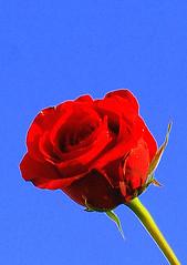 HAPPY VALENTINES DAY! (desicoconut) Tags: red flower rose wales cymru valentines onblue coch blodyn rhosyn mywinner anawesomeshot santfolannt