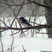 Blue Jay On Branch Of Ash Tree