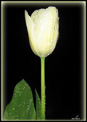 Tulip (nachan07) Tags: white flower green japan leaf framed tulip lovely waterdrops mywinners brillianteyejewel