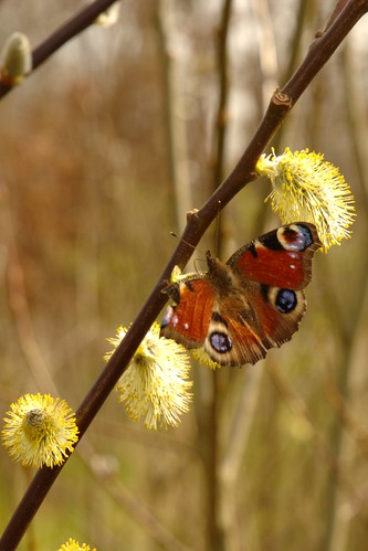 Dagpauwoog op boswilg - European peacock butterfly on goat willow