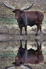 TEXAS BULLHORN C2 (jodi_tripp) Tags: female vancouver rural texas wa bullhorn clarkcounty joditripp challengeyouwinner wwwjoditrippcom photographybyjodtripp