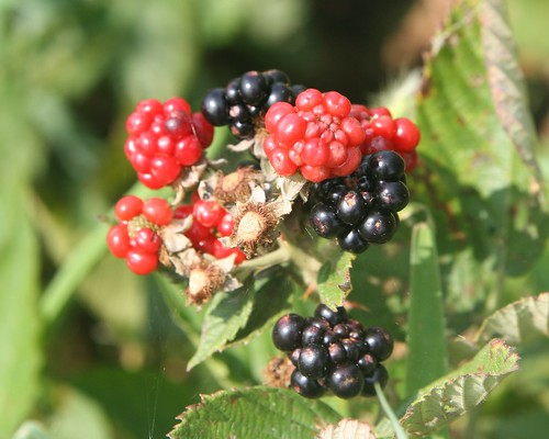 Blackberry Cluster