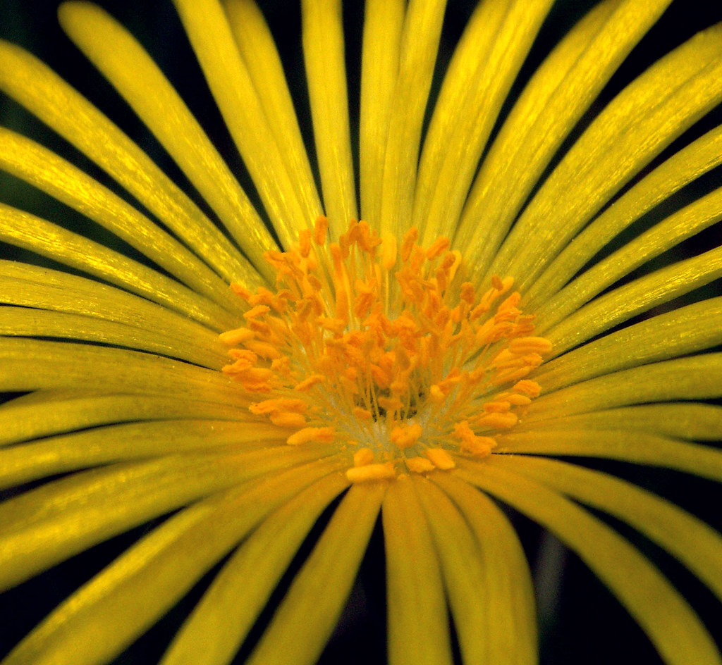 Ice Plant Bloom: Shiny Yellow