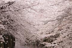 Sakura (mrhayata) Tags: japan river cherry geotagged tokyo blog blossom 桜 日本 sakura 東京 花 meguro nakameguro さくら サクラ 中目黒 東京都 目黒川 目黒区 mrhayata geo:lat=356447872 geo:lon=139700015