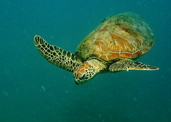 Great Barrier Reef - Green Turtle - IMG_5908_edit (zimtwookie) Tags: australien christoph greatbarrierreef steinhard