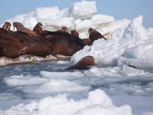 Bering Sea Walrus Research 2