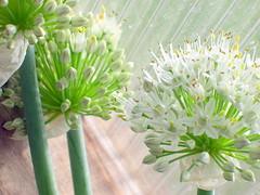Stars Of Onions (NeOHippy94) Tags: flowers green utata onion thursdaywalk