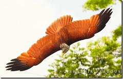 Before strike (Shabbir Ferdous) Tags: tree bird beautiful photographer wildlife bangladesh raptors birdsofprey birdinflight chil bangladeshi accipitridae flyingbird brahminykite haliasturindus canoneosrebelxti redbackedseaeagle birdsofbangladesh shabbirferdous shonkhochil elangbondol sigmazoomtelephoto70300mmf456apodgmacro wwwshabbirferdouscom shabbirferdouscom