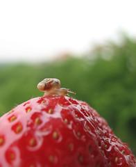 (venana) Tags: strawberry snail jagoda pu almosteatenalive skoropojedeniv