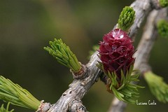 Larice - fiore femminile (cianocosta) Tags: mountain macro larice asiago 30d larix naturesfinest canon30d sigma150 theunforgettablepictures betterthangood