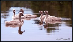 The Ugly Ducklings (Leif Strand) Tags: bird birds norway norge swan moments cygnet swans tamron hordaland cygnets svaner naturesfinest tamron70300 333views svane flickrsbest mywinners colorphotoaward aplusphoto sveio avianexcellence platinumheartaward theperfectphotographer vga svanunge panoramafotogrfico svanunger passionateinspirations