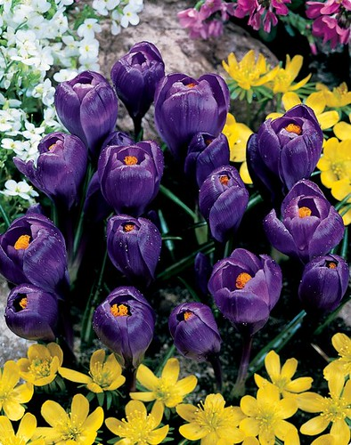 Giant Crocus 'Flower Record'