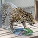 Jaguar Gamboa Wildlife Rescue pandemonio 2017 - 01