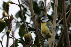 Blue Tit (N5 Snapper) Tags: uk england birds garden tit bluetit smallbirds