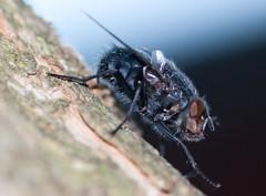 mosca di lato (wallaceer) Tags: macro animale mosca insetto