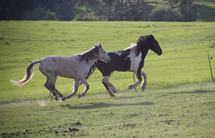 All Worked Up (j_birdswillsing) Tags: horses horse white green grass grey paint running dust canter gallop loh