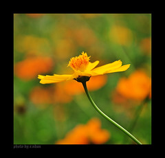The little things [explored] (e.nhan) Tags: enhan nature light landscape yellow flowers flower dof cosmos closeup colorful colours bokeh backlighting arts art