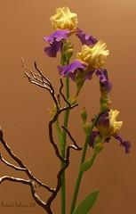 IRIS SHOW  #1 (bitsorf: Thank you 1,500,000 times) Tags: flowers iris irisshow mayflowers mygearandme mygearandmepremium mygearandmebronze mygearandmesilver mygearandmegold mygearandmeplatinum ringexcellence artistoftheyearlevel3 artistoftheyearlevel4