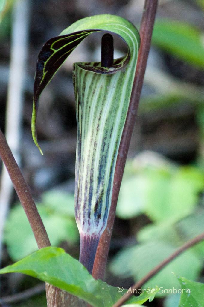 Jack-in-the-pulpit (Arisaema triphyllum)-9.jpg