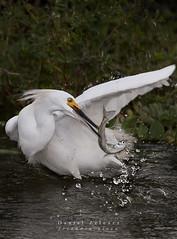 Snowy Egret (Egretta thula) (DannyZelener) Tags: argentina miguel del photo nikon san snowy wildlife monte egret garza egretta thula photonature