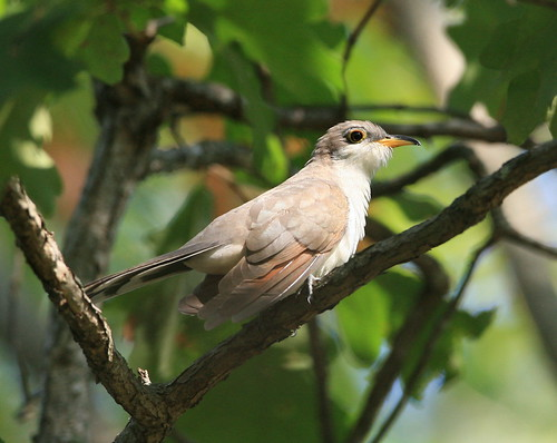 """Ok you may take my pic!""Yellow-Billed Cuckoo"