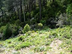 Au-dessus de Bocca di Fornaciole, sortie de la forêt vers 980 m