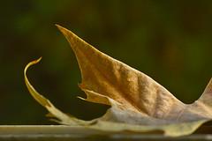 Tear ( enzinho) Tags: autumn stilllife leaf iso400 drop 180 foglia gota tear f56 folha autunno outono goccia lacrima 105mm lgrima enzinho allrightsreserved enzinho62 camerarawpscs3