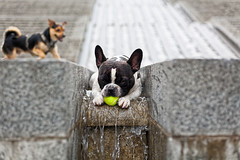 Two dogs and a tennis ball (damonlynch) Tags: dog pet pets playing paris france animal animals europe play chewing chew tennisball sportsequipment domesticatedanimals companionanimals