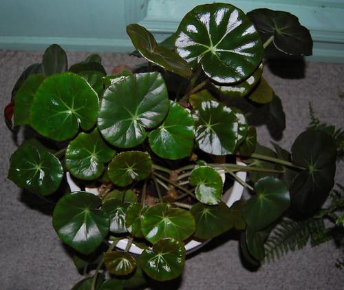 CalKT's Begonia 'Erythrophylla' | Folia