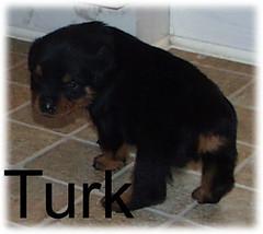 turk2 (muslovedogs) Tags: dogs puppy rottweiler teaara zeusoffspring
