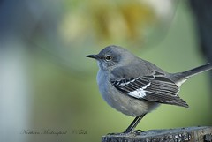 Northern Mockingbird (Momba (Trish)) Tags: bird nature birds nikon bravo tennessee northernmockingbird nikkor mockingbird birdwatcher momba naturesfinest blueribbonwinner tennesseestatebird ikond200 avianexcellence diamondclassphotographer flickrdiamond theperfectphotographer