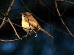 Plain Prinia (NotMicroButSoft (Fallen in Love with Ghizar, GB)) Tags: pakistan nature birds wildlife punjab lahore biodiversity avianfauna