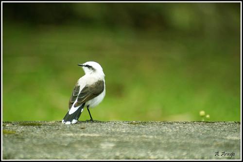 Série Pássaros - Lavadeira-mascarada (fluvicola nengeta) por Anderson Araujo.