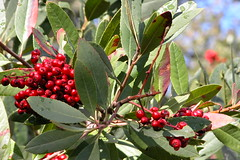 #107: Toyon Berries In Bloom (doglington) Tags: sonoma toyon project365 toyonberries project365107 project365122307 toyontree