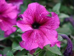 Violet Beauty (Anish.Mathew) Tags: flowers catchycolorsviolet platinumphoto