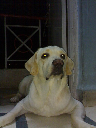 yellow labrador retriever - Maximus