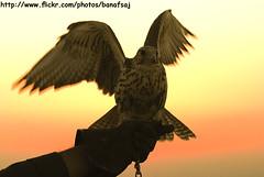 Freedom (Banafsaj_Q8 .. Free Photographer) Tags: club photography kuwait kw q8 القنص بيت bayt lothan الكويت kuw nikond80 q8i الفوتوغرافي للتصوير banafsaj لواذان