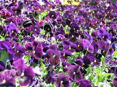 The Purple Spring