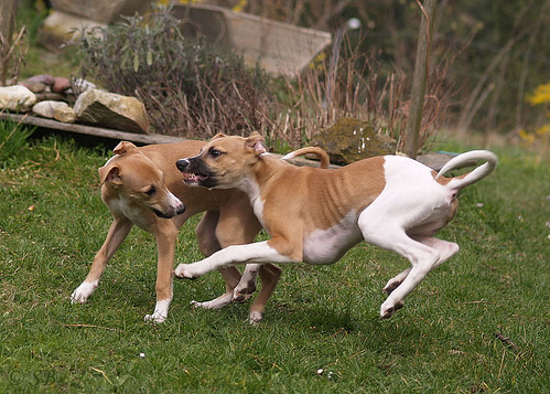 Whippet puppies: Quentin & Anukis (15 weeks)