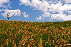 Samba Pa Ti (Bill Adams) Tags: hawaii song explore santana bigisland canonef2470mmf28lusm impressionistic maunakea wildgrass flickrgold sambapati seeqpod