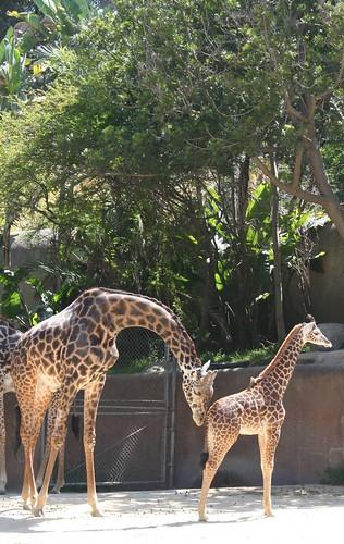cute zebras?