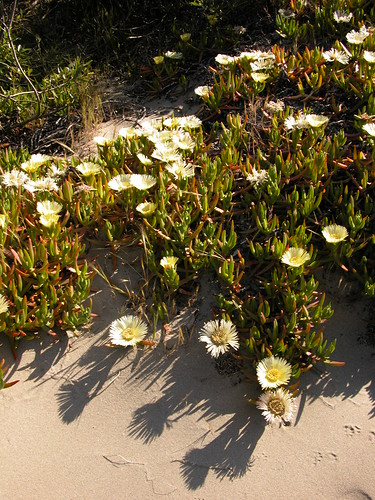 Colonizing the beach - yellow ice plant
