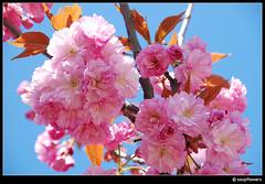 Spring Impressions (Soupflower) Tags: pink flower tree photography austria tirol österreich spring blossom rosa april blume 2008 blüte 18200 baum tyrol frühling blooming obstbaum blühen prunusserrulata japanesefloweringcherry soupflowers nikond80 soupflower zierkirschen wwwsoupflowercom spflwrs ©soupflowerphotography