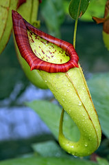 Pitcher Plant (f0rbe5) Tags: uk red england plant green london kew gardens cool royal conservatory botanic 2008 pitcher royalbotanicgardens pitcherplant princessofwales princessofwalesconservatory 450d naturewatcher