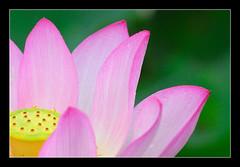 蓮 瓣上珠 (wee_photo) Tags: macro waterlily lotus taiwan sigma apo wee taipei d200 台灣 台北 70300mm cubism 微距 荷 蓮 安坑
