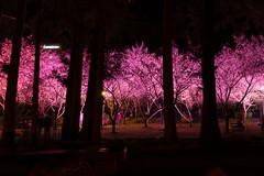 武陵夜櫻 (Hamster620) Tags: 台灣 taiwan 武陵農場 wulingfarm 樹 tree 植物 plant 花 flower 夜景 night