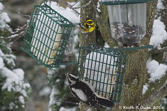 Townsend's Warbler (Setophaga townsendi) & Downy Woodpecker (Picoides pubescens) (youngwarrior) Tags: setophagatownsendi picoidespubescens bird salem birdfeeder oregon townsendswarbler downywoodpecker