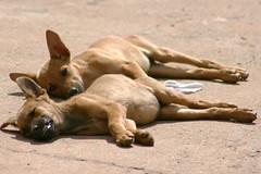 IMG_3968 (Max Hendel) Tags: sleeping dog co de canine vida cachorro canino dogslife canoneosdigital vidadeco vidadecachorro photobymaxhendel bymaxhendel fotografadopormaxhendel maxhendel photographedbymaxhendel pormaxhendel canoneosphoto photographermaxhendel maxhendelphotography